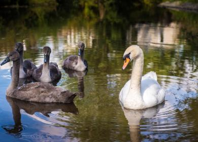 Swans on the River walk at Arrow Bank photo